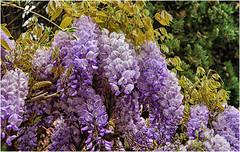 wisteria time ... (miriam ulivi) Tags: miriamulivi nikond3200 fiori flowers glicine wisteria nature