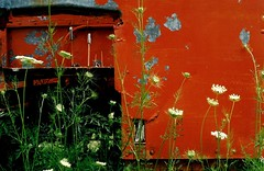 Queen Anne's lace by old train, Newark Valley, N.Y. 1997. (brunofish) Tags: c brunofish newark valley copyright copyrighted material brian fish aka brunosih cbrunofish