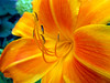 Tiger Lily, Ottawa, Ontario, Canada (duaneschermerhorn) Tags: flower stamen petals red yellow lily tigerlily garden colourful colorful