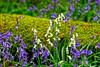 White bluebells (Geoff Henson) Tags: woods wood forest tree trees log moss flowers bluebells whitebells grass nikon sigma surrey blue white green