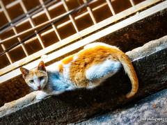 Curious (smzoha) Tags: cat animal cute stray white orange sunlight naturallights day daylight sunny resting fauna 7dwf hss slidersunday