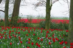 Lisse (Pays-Bas) : parc de Keukenhof (bernarddelefosse) Tags: keukenhof parcfloral lisse paysbas fleurs