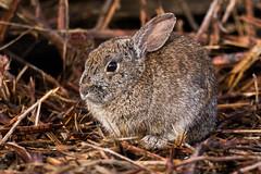 Western Brush Rabbit (Sylvilagus bachmani) (Brown Acres Mark (always 2 days behind)) Tags: westernbrushrabbit sylvilagusbachmani emigrantlake jacksoncountyoregon oregon southernoregon pnw pacificnorthwest usa markheatherington