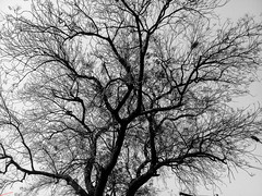 Dried Out Tree (ketank10.bhardwaj@ymail.com) Tags: newdelhi delhi india in tree bw