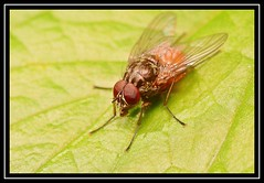 """The Eyes Have It..."" (NikonShutterBug1) Tags: nikond7100 tokina100mm fly insect entomology nature wildlife bokeh spe smartphotoeditor closeup macro"