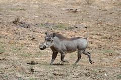 Common Warthog, Phacochère (Phacochoerus africanus) - Zakouma National Park, CHAD (brun@x - Africa: birds & more) Tags: 2018 bruno portier brunoportier tchad chad zakouma national park zakoumanationalpark mammifères wild wildlife african africa afrique bush common warthog phacochère phacochoerus africanus phacochoerusafricanus cetartiodactyla suidae