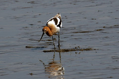 Avocet does the sweep...6O3A8431A (dklaughman) Tags: avocet bird bombayhooknwr delaware