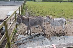 P1250223_edit (The Oldhams) Tags: cornwall donkeys flickadonkeysanctuary