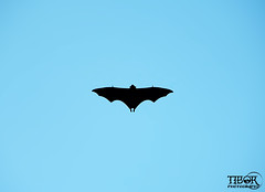 Batman (morbidtibor) Tags: africa seychelles praslin bat flyingfox fruitbat