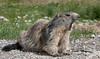 IMG_2734.jpg (Hans Van Loy) Tags: alpenmarmot dieren gewervelden knaagdieren nationaleparken parcnationalmercantour zoogdieren