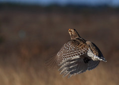 Sharptail Grouse - Party is over_17 (Scott_Knight) Tags: grouse flight canon wings wisconsin sharptail