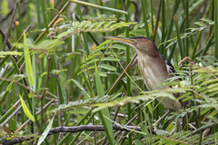 Least Bittern (fernaabs) Tags: least bittern ixobrychus exilis mirasol avetorillopantanero pelecaniformes ardeidae aves fernaabs burgalin avesdecostarica