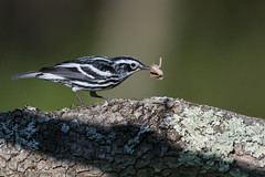 Black and White Warbler (Jesse_in_CT) Tags: blackandwhitewarbler warbler nikon200500mm