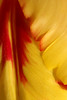 Pretty Petals (gripspix (OFF)) Tags: 20180506 tulip tulpe petal blütenblatt texture textur red yellow rot gelb