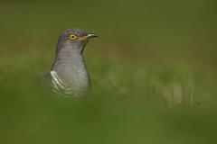 Cuckoo in Green (Markp33) Tags: