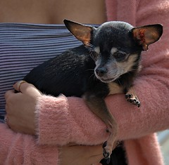 Cuddle & Coddle (Scott 97006) Tags: cute petite dog small anmal canine pet arms held