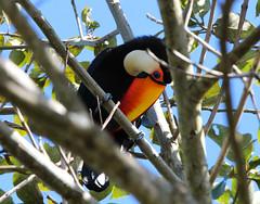 Tucanuçu (Degu SASF) Tags: brasília brasil brazil df distrito federal aves ave birdwatching observação
