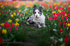 Springtime (KevinBJensen) Tags: dog animal animals tulips dogs spring flowers border collie red green colorful colors blue merle portrait face puppy little baby