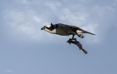 Lunch time (Alec_Hickman) Tags: ngc canada atlantic eastern bird raptor osprey birdofprey wildlife nature predator flight wings feathers sky clouds light