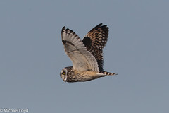 Short-eared Owl (mobull_98) Tags: shortearedowl owl shorty