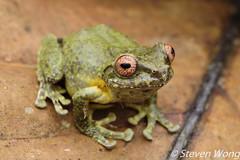 Green Bush Frog (Philautus bunitus) (Steven Wong (ATKR)) Tags: steven wong siew por atkr45 stryker wsp atkr herp herping malaysia green bush frog philautus bunitus