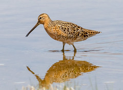 Short-billed Dowitcher (tresed47) Tags: 2018 201805may 20180509njwetlandsbirds birds canon7d content dowitcher folder may newjersey peterscamera petersphotos places season shorebirds shortbilleddowitcher spring takenby us wetlandsinstitute
