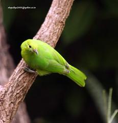 IMG_3089 Jerdon's Leafbird-Female )Chloropsis jerdoni) (vlupadya) Tags: greatnature bird animal aves fauna indianbirds jerdons leafbird chloropsis kundapura karnataka