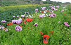Amapolas (Luisa Gila Merino) Tags: amapolas campo airelibre rojo verde paisaje landscape maisema flowers