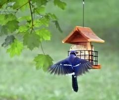 Photo#134-Blue Jay Blue (☼☼ Jo Zimny Photos☼☼) Tags: 366the2016edition blue bluejay bird large omnivore inthebackyard 365the2018edition 3652018 day134365 14may18