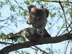 Leapfrog ? (Simply Sharon !) Tags: woodpigeons pigeons birds britishwildlife wildlife nature mating rspboldmoor rspb