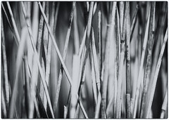 Reeds (Brian The Euphonium) Tags: reeds rspbconwy nik sigma150500 pentax ks2 bw welshflickrcymru