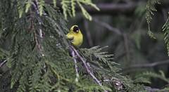 Curiosity (robinlamb1) Tags: nature outdoor animal bird tree finch americangoldfinch spinustristis male yellowblack cedar cedartree