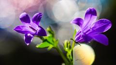Violettes avec TRIOPLAN (YᗩSᗰIᘉᗴ HᗴᘉS +15 000 000 thx) Tags: trioplan meyer flora macro flower bokeh hensyasmine namur belgium europa aaa namuroise look photo friends be wow yasminehens interest intersting eu fr greatphotographers lanamuroise tellmeastory flickering