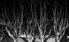 Trees at Night - West Hollywood, CA (ChrisGoldNY) Tags: chrisgold chrisgoldny chrisgoldphoto chrisgoldberg losangeles la california westcoast cali socal licensing bookcovers albumcovers forsale westhollywood weho sony sonyimages sonyalpha sonya7rii bw blackandwhite trees branches