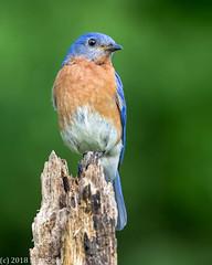 Eastern Bluebird (Matt Cuda - www.mattcuda.com) Tags: bluebird bird birds blue eastern forsyth forsythcounty nc northcarolina perch perched perching songbird songbirds spring springtime