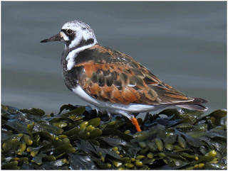 Turnstone, Silloth,12 May 18 (2 of 2)