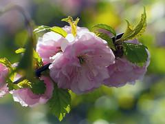 160421-0120 _Helle_PS2_ (Pixel-Cat) Tags: kirsche kirschblüte cherry cherryblossom blossom blüte baum tree plant pflanze spring frühling macro makro hellersdorf berlin olympus omd em5 mzuiko75300mmf4867ii