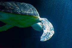Wien 2017 - Haus des Meeres (karlheinz klingbeil) Tags: schildkröte tortoise water wasser tier animal austria aquarium city zoo vienna österreich stadt wien at