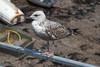 In Ullapool (Paul at The Hug) Tags: scotland ullapool gulls
