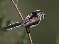 Long Tail Tit (Aegithalos caudatus) (Geoffs_Nature_Photography) Tags: