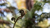 fiddlehead (Francis Mansell) Tags: fern frond uncurling plant macro rbge royalbotanicgardenedinburgh blur bokeh edinburgh scotland curled sprout