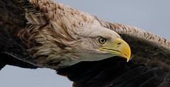White Tailed Sea Eagle Closeup (irelaia) Tags: white tailed sea eagle mull close wild bird scotland