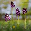 Orchis purpurea (Obikani) Tags: orchispurpurea orchid orquídea flower lorea macro nature wild álava araba euskadi canonikos