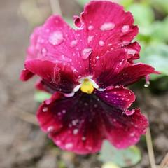 Magenta (Nagarjun) Tags: flowers spring kashmir srinagar pahalgam tulips colour macro jk