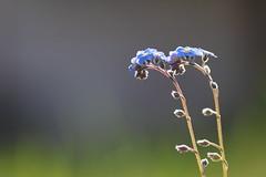 Un pas de deux (CécileAF) Tags: canon colour flowers wild bokeh blue nature spring macro dreamy
