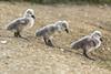 junge Schwanbaby's (siegmarkälberer) Tags: schwan tiere natur