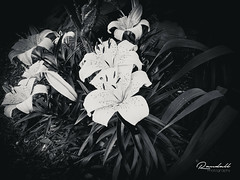 Beauty with ZTE? (B&W) (Randy • R) Tags: easton flowersplants maryland us usa unitedstates z958 ztemax2 amazing android beautiful black blackandwhite botanical dark delicate flower flowerhead image interesting leaf leafs nature nice outdoor outdoors petal phone photo photographer photography pic picture plant plants randall white