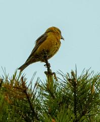 Crossbill (xDigital-Dreamsx) Tags: finch forest woodland nature wildlife