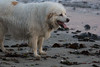 IMG_8383 (armadil) Tags: mavericks beach beaches californiabeaches dog whitedog pyreneesdog mav050518 sunset dusk