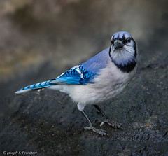 Blue Jay (Cyanocitta cristata) - Central Park, New York (VIEW LARGE) (JFPescatore) Tags: bluejay cyanocittacristata